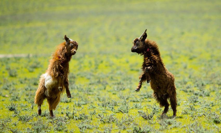 Goats jumpingon field