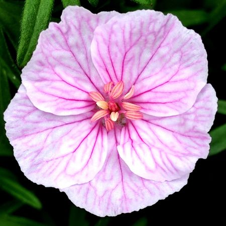 Flower Pink Color Petal Nature Flower Head Plant Fragility Close-up Beauty In Nature No People Growth Freshness Pink Veins Love Of Flowers Springtime