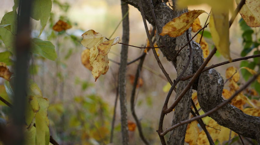The knot in autumn Autumn Twisted Beauty In Nature Branch Close-up Day Dried Plant Dry Focus On Foreground Growth Leaf Nature No People Outdoors Plant Rotting Tree Vine