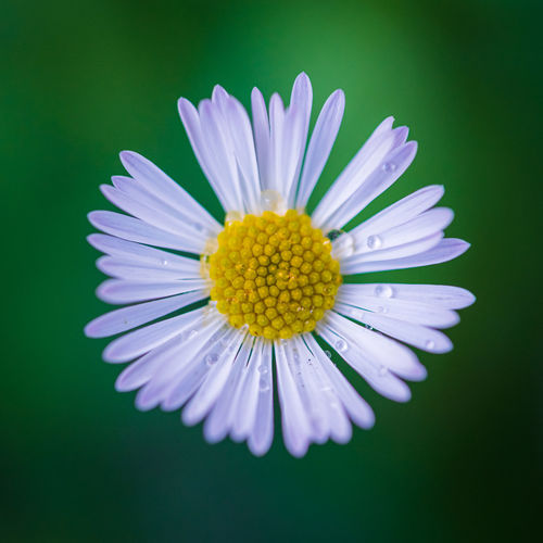 Close-up of purple daisy against white background
