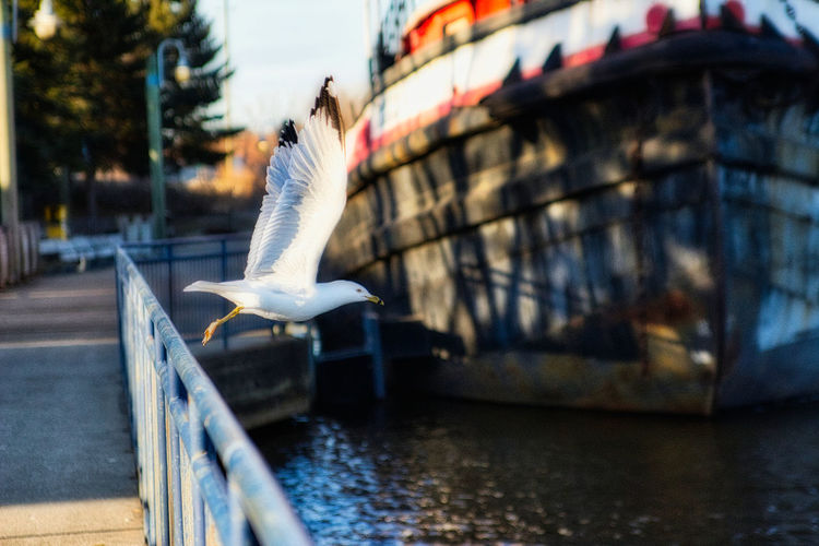 Seagull flying over canal