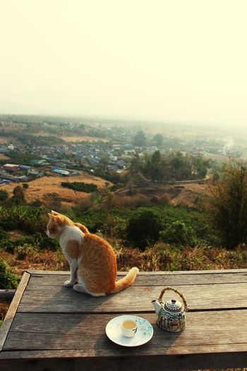 Tea with Cat Foggy Morning Chinese Tea Valley Veiw in Pai Thailand North Thailand South East Asia Outdoors No People