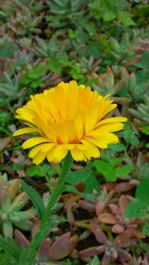 Lemon By Motorola Abu Omshanti Flowers Garden Paint The Town Yellow