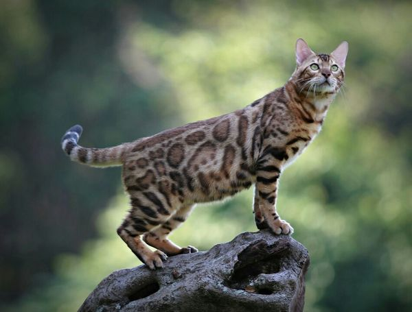 Cute Pets Petstagram Bengal Cat Cats Pets Animal Meow EyeEm Indonesia Pet Photography  Hello World