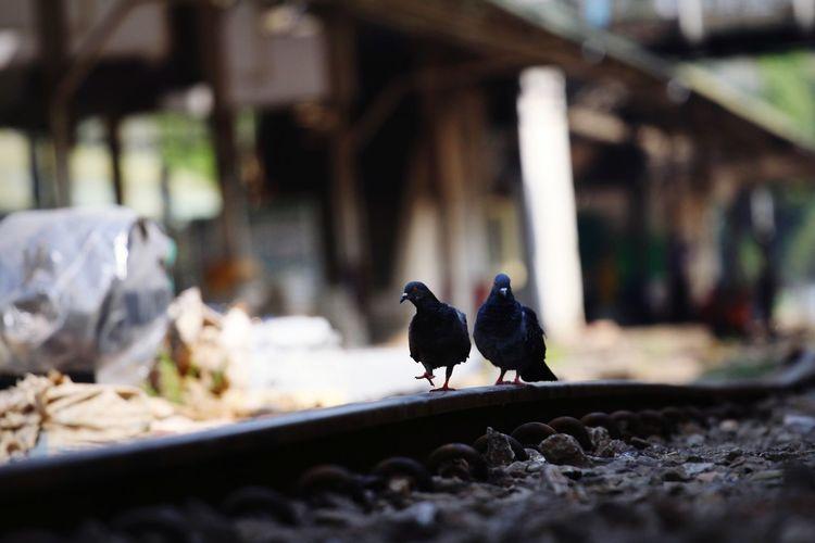 Doves Bird Perching Animal Themes Close-up Pigeon