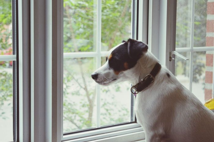 Loyal Dog Jack Russell Terrier in the window Window Pets Domestic Animals One Animal Mammal Animal Themes Dog Looking Through Window Window Sill Indoors  Day Home Interior No People Jack Russell Family Dog  Waiting Security Look Out The Window Look Out Home Cute Black And White Dog Loyalty Friendship Love The Secret Spaces Pet Portraits