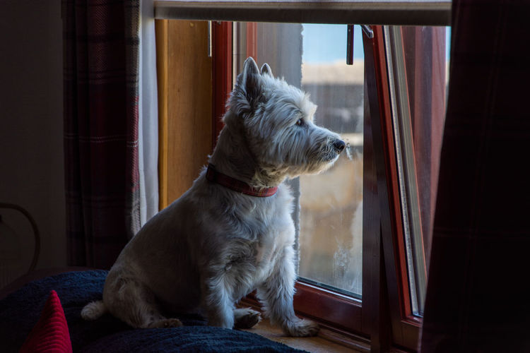 West highland terrier view