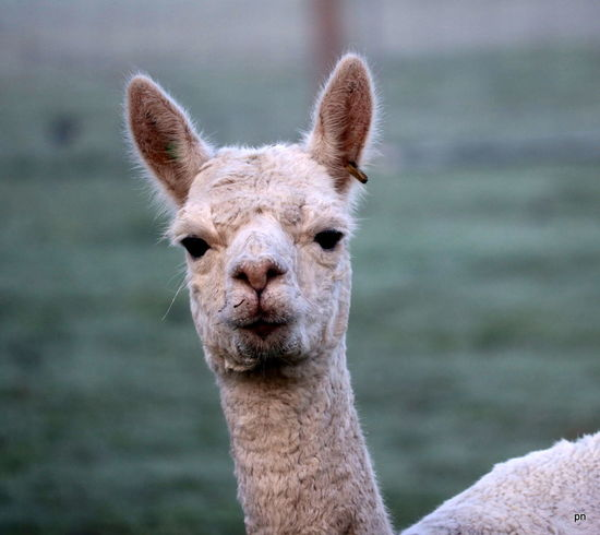 Not impressed Alpaca Animal Body Part Animal Head  Beauty In Nature Close-up Day Focus On Foreground Mammal Nature No People Not Impressed Outdoors Part Of Portrait Pout Selective Focus