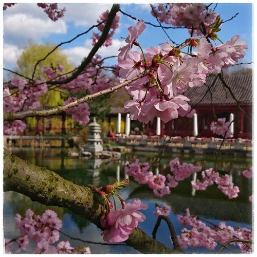 Ilike Springtime Cherryblossom Chinesegarden Kirschblüten  Frühlingserwachen Loveit PrettyInPink