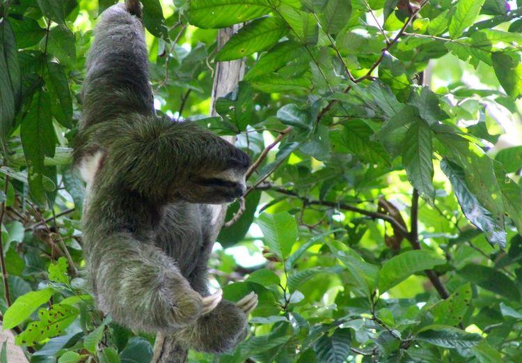 Sloth on tree