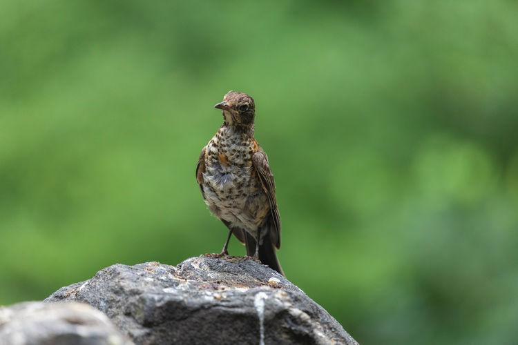 Close-up of bird perching on rock