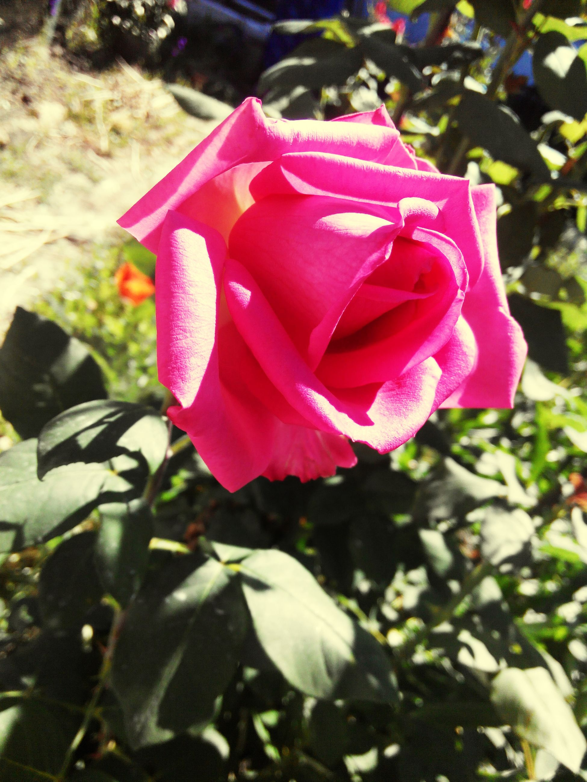 flower, petal, rose - flower, flower head, fragility, freshness, pink color, close-up, focus on foreground, single flower, beauty in nature, blooming, growth, nature, red, rose, plant, pink, outdoors, in bloom