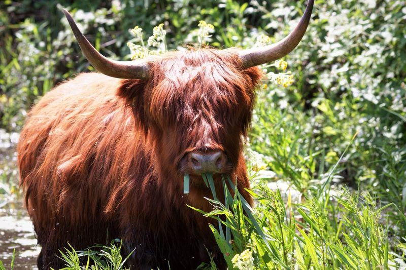 Need Floss .. Got Some? Highland Cattle Schotse Hooglanders Animals