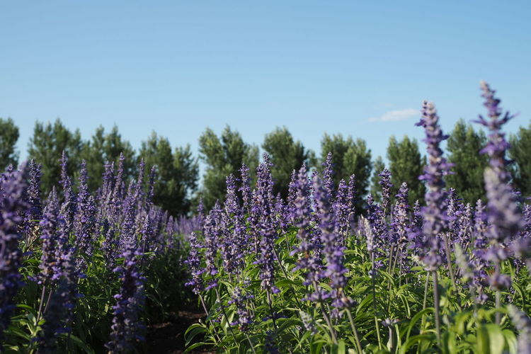 Furano lavender field, Hokkaido Japan Beauty In Nature Close-up Day Flower Flower Head Fragility Freshness Growth Lavender Colored Nature No People Outdoors Plant Purple