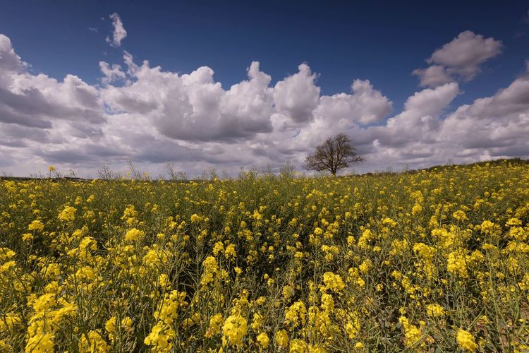 Perfect Day Rushden British Summertime British Countryside Summer Days Blue Rapeseed Field Northamptonshire The Great Outdoors - 2018 EyeEm Awards Fields And Sky Fields Of Gold Rapeseed Blue Sky Beauty In Nature Sky Plant Growth Cloud - Sky Yellow Flower Landscape Field Scenics - Nature Rural Scene Agriculture Freshness
