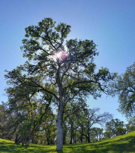 Oak forest on