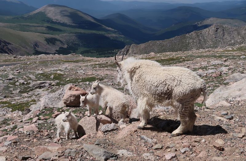 Landscape of family of mountain goats atop Mount Evans in Colorado Rocky Mountains USA Mountain Range Baby Mountain Goats High Elevation Mount Evans Mountain Goats Colorado Mountain Mammal Animal Animal Themes Scenics - Nature Environment Landscape Mountain Range No People Tranquil Scene Plant Land Tranquility Vertebrate Day Beauty In Nature Nature Group Of Animals