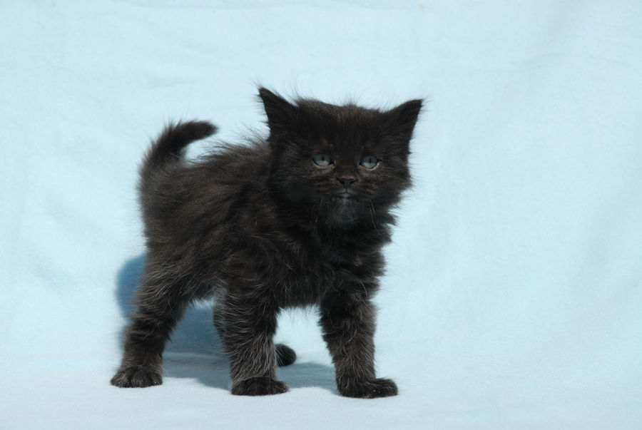 Black kitten Animal Themes Black Kitten Close-up Cute Kitten Day Domestic Animals Domestic Cat Feline Fluffy Cat Indoors  Kitten Long Haired Cat Mammal No People One Animal Pets Portrait Young Animal