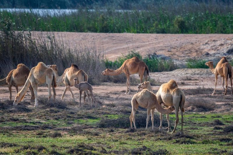 Camels 🐪 in The QATAR desert Mammal Animal Animal Themes Group Of Animals Field Land Vertebrate Domestic Animals Plant Livestock Animals In The Wild Animal Wildlife Grass Environment Large Group Of Animals Landscape