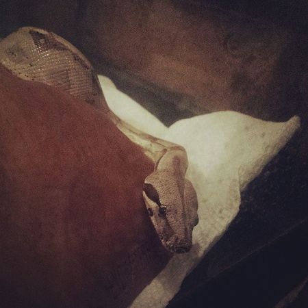 Snek Snakeface Reptilesofinstagram Snakesofinstagram boa boababy