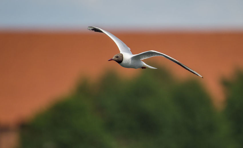 One seagull Seagulls Animal Animal Themes Animal Wildlife Animals In The Wild Beauty In Nature Bird Day Flying Focus On Foreground Full Length Mid-air Nature No People One Animal Outdoors Plant Seagull Selective Focus Spread Wings Tern Vertebrate