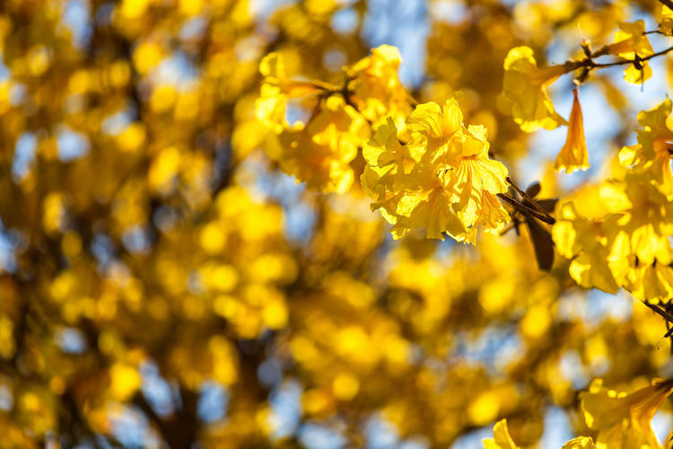 Yellow Flowering Plant Plant Beauty In Nature Flower Growth Fragility Vulnerability  Freshness Close-up No People Tree Nature Day Branch Blossom Springtime Outdoors Flower Head Golden Trumpet Tree Trumpet Tree Golden Trumpet Selective Focus Petal
