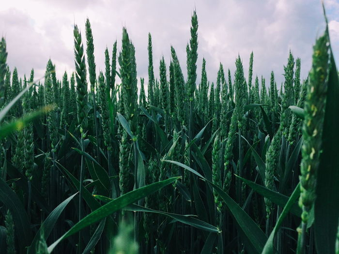 Panoramic shot of stalks in field against sky