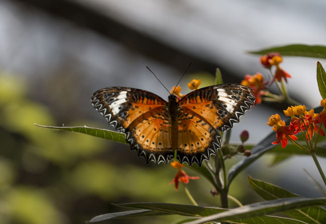 Leopard lacewing butterfly - cethosia cyane Cethosia Cyane Lacewing Butterf Butterfly - Insect Cethosia Insect Lacewing Leopard Nature Tropical