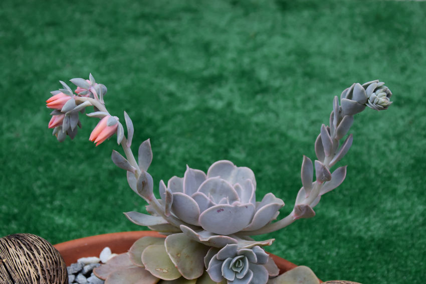 Cactus and succulent - Echeveria - rose stone flowers Cacti Cactus Green Green Color Nature Succulents Beauty In Nature Bucket Cactus Collection Close-up Day Echeveria Flower Flowering Plant Fragility Freshness Growth Nature Orange Flower Outdoors Petal Pink Flowers Plant Rose Stone Succulent Plant