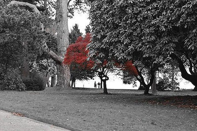 Coed Trees Hydref Autumn Red Selectivecolour Blackandwhite Ukhubcollab2