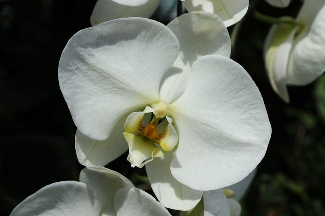Flower Petal Beauty In Nature Flower Head White Color Nature Fragility Freshness Growth Close-up Plant No People Blooming Day Outdoors Orchid Orchids Orchid Blossoms