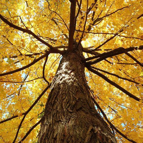 Fall Dreams EyeEm Best Shots Fall Beauty Fall Colors Fall Fall Leaves Trees Yellow Leaves Nature Lookingup
