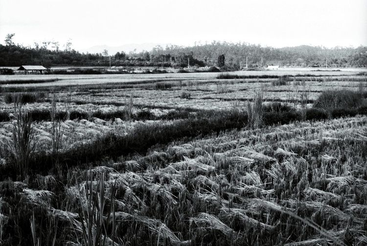 Rice Field Chiang Mai | Thailand Black And White Rice Production Film Film Photography Nikon F2 Northern Thailand Thailand_allshots Paddy Field Cultivation Growing Plants Harvest Farming Agriculture Crops Annual Plant Landscape Nature Showcase July