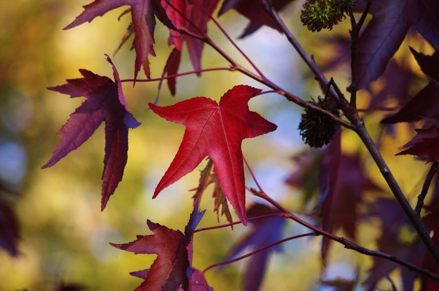 EyeEm Nature Lover EyeEm Best Shots Beauty In Nature Autumnal Leaves Autumnal Colours Herbstlich Leaf Flower Autumn Red Tree Maple Leaf Branch Close-up Sky Plant Plant Life Fall Leaves Fallen Maple