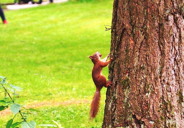 Squirrel at botanical gardens Munich Squirrel Squirrel Closeup Nuts Acorn Botanical Gardens Munich Tree Animal Climbing Red Squirrel Trunk Bark Animal Close Up Animal Climbing