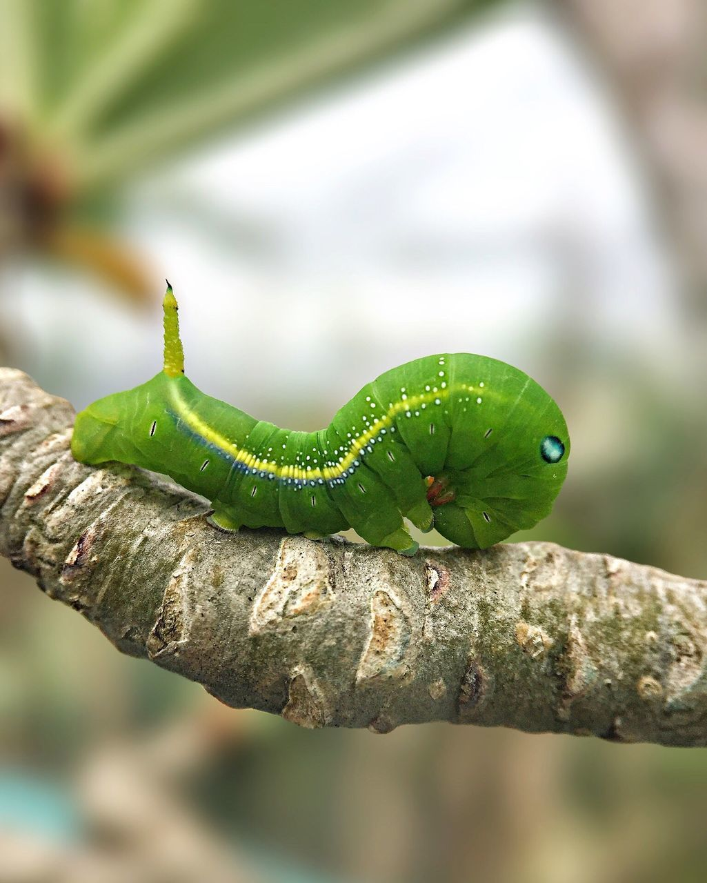 one animal, animal themes, animals in the wild, animal wildlife, reptile, green color, focus on foreground, close-up, lizard, day, chameleon, no people, outdoors, nature, insect, branch, slug