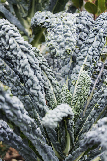 Beauty In Nature Close-up Dark Green Leaves Day Fragility Freshness Green Color Growth Kale Leaf Nature Outdoors Plant Texture Vegetable Vegetables