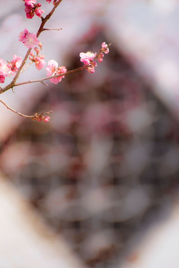 Plum And Window Flower Flowering Plant Plant Growth Fragility Freshness Blossom Pink Color Springtime Plum Blossom Window Chinese Traditional