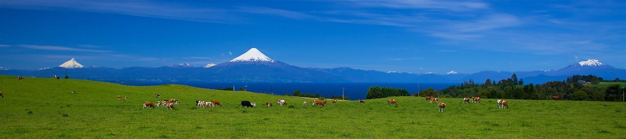 A beautiful panaorama in the south of chile, near Frutillar. A vulcano landscape ... Chile Cows Frutillar  Lagollanquihue Landscape Nature Osorno Outdoors Panorama Panoramic Photography Postcard Southchile Sun Vulcano Vulcanos