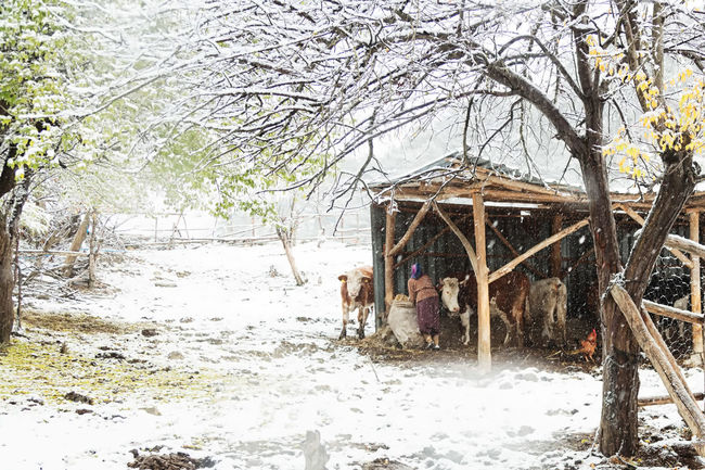 Village Snow Architecture Barn Beauty In Nature Branch Built Structure Cattle Cold Days Cold Temperature Cow Day Feeding Animals Fencepost Nature Outdoors Snow Snowing Sünnetköy Tree Turkey Winter Winter Wintertime