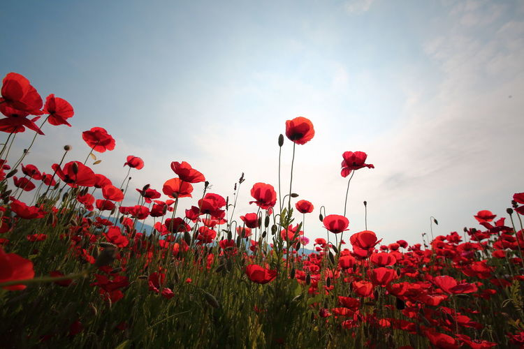 Red poppy flowers growing on field against sky