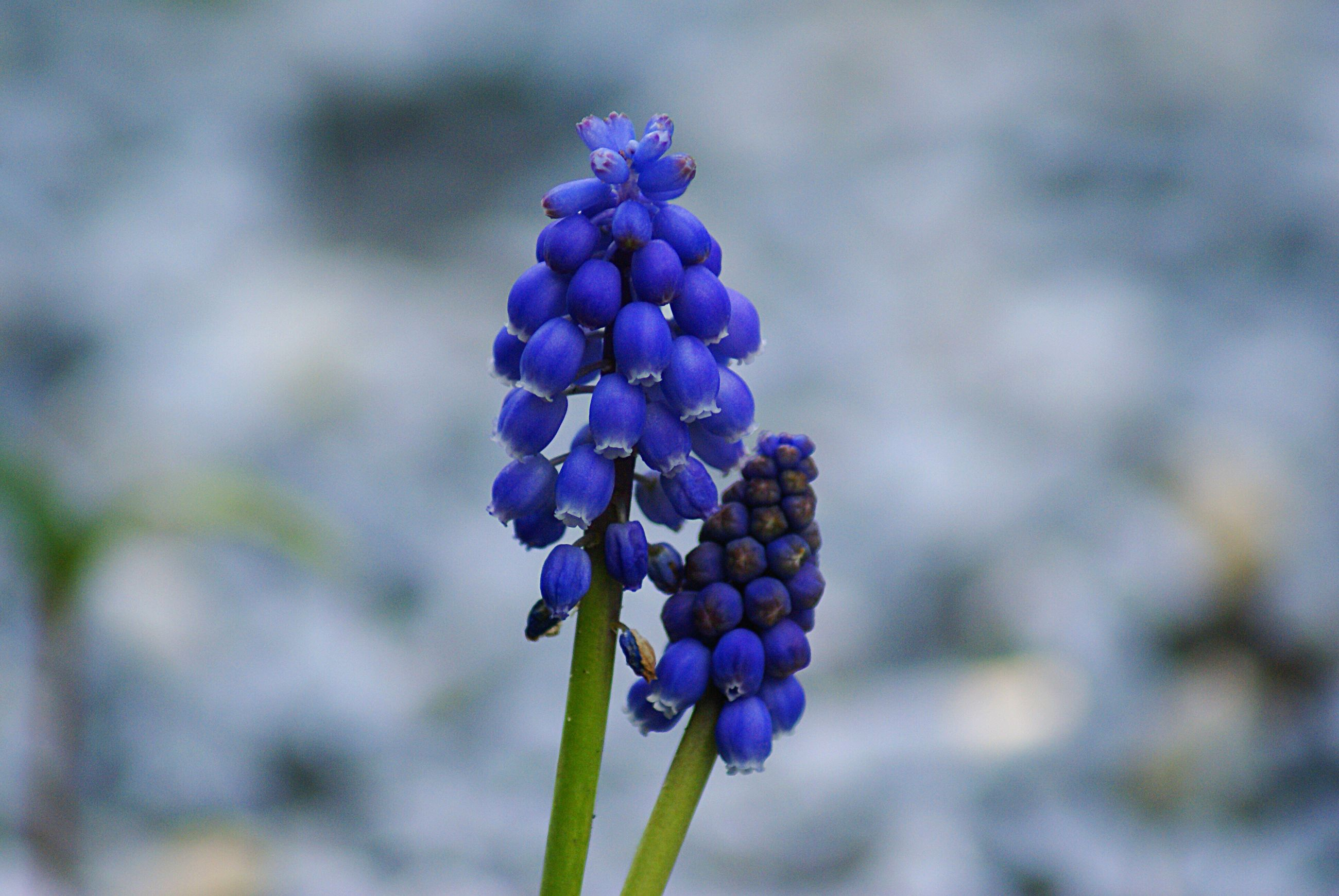 purple, blue, nature, close-up, focus on foreground, freshness, beauty in nature, day, no people, flower, outdoors