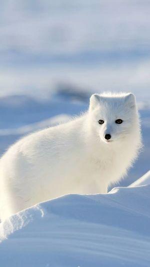 Portrait of white arctic fox