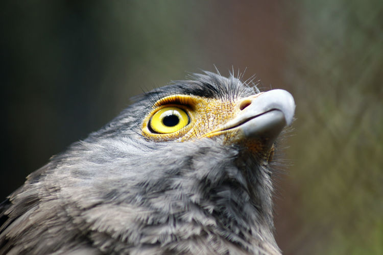 Crescent Serpent Eagle Head Alertness Animal Animal Head  Animals In The Wild Beak Bird Close-up Curiosity Depth Of Field Eagle Eagle Eye Eagles Head Focus On Foreground Hawk No People One Animal Predator Selective Focus Side View Wildlife Zoology This Is Strength