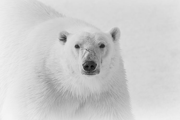 Portrait of a male polar bear on the sea ice Animal Themes Animal Wildlife Animals In The Wild Arctic Bear Black And White Looking At Camera Mammal Nature One Animal Polar Bear Portrait White White Color Wildlife Wildlife Photography