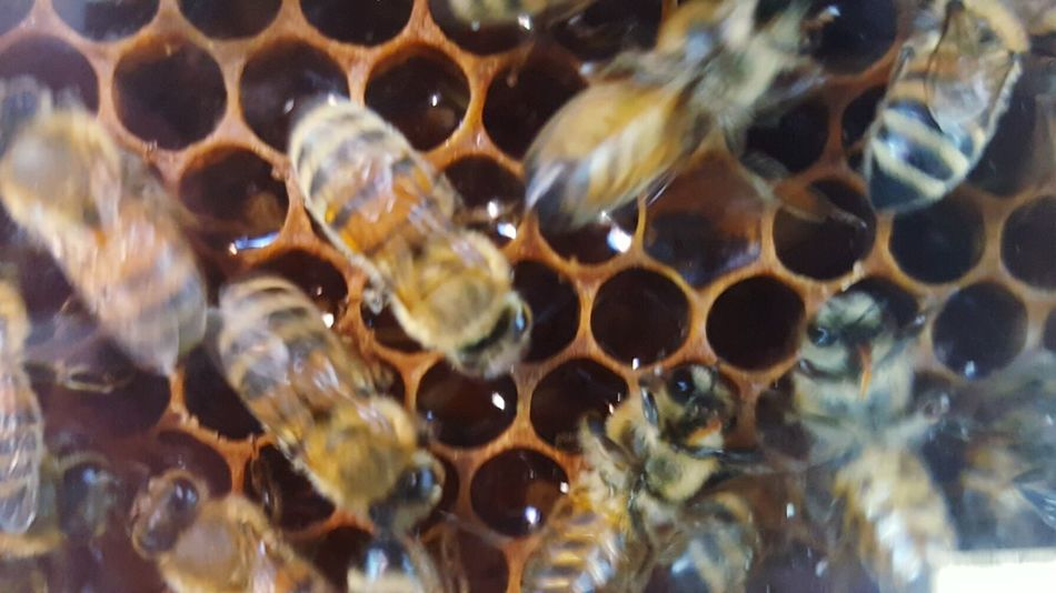 Bee hive Honeycomb Animal Themes Close-up Animals In The Wild Insect Animal Wildlife No People Nature