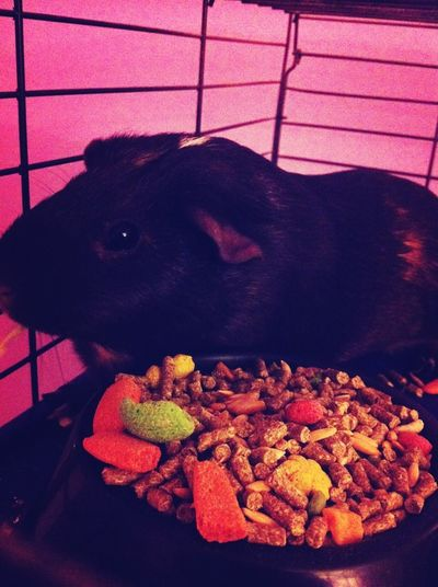 Stormy The Guinea Pig