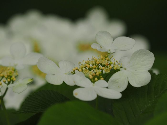 ヤブデマリ Viburnum Plicatum Flower Flowers Flowers, Nature And Beauty Nature Nature_collection Nature Photography Light And Shadow EyeEm Best Shots - Nature EyeEm Best Shots - Flowers EyeEm Nature Lover The Purist (no Edit, No Filter) Snapshot Taking Photos Walking Around お写ん歩