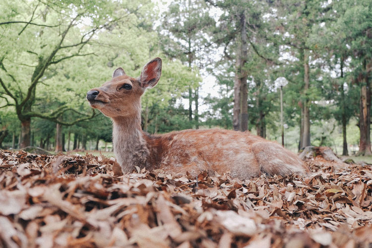 Deer relaxing on dry leaves against trees at forest