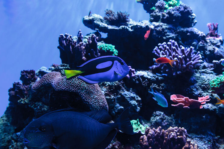 Palette tang fish, Paracanthurus hepatus, is also called the royal blue tang and can be found on a tropical reef in the ocean. Animal Themes Animals In The Wild Beauty In Nature Coral Coral Fish Day Fish Nature No People Palette Tang Fish Paracanthurus Hepatus Royal Tang Sea Sea Life Swimming UnderSea Underwater Water